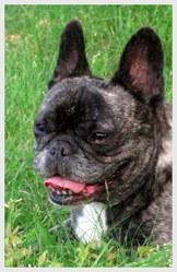Colette, chien Bouledogue français
