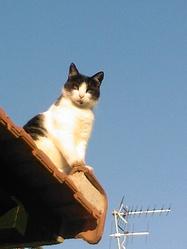 Collier, chat Européen