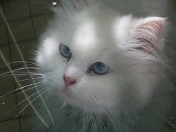 Colombe, chat Persan