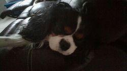 Colorado, chien Cavalier King Charles Spaniel