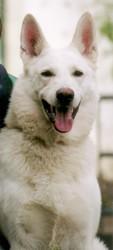 Menphis Des Gardiens Du Walahala, chien Berger blanc suisse
