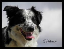 Colte, chien Border Collie