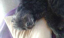 Colza, chien Caniche
