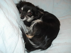 Comète, chien Chihuahua