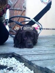Comète, chien Labrador Retriever