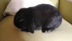 Lord Buisness , rongeur Lapin
