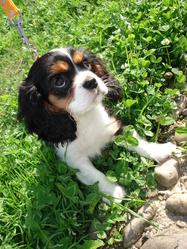 Comtesse, chien Cavalier King Charles Spaniel