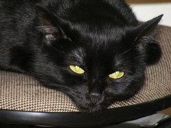 Comtesse, chat