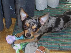 Conan, chien Chihuahua