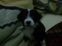 Conan, chien Border Collie