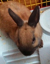 Condore, rongeur Lapin