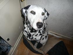 Conrad, chien Dalmatien