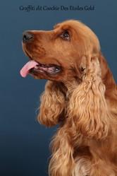 Coockie Des Etoiles Gold, chien Cocker anglais