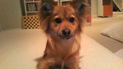 Coockie, chien Berger des Shetland