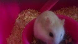 Coockie, rongeur Hamster