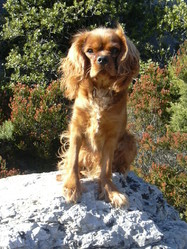 Coocky, chien Cavalier King Charles Spaniel