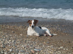 Coocky, chien Jack Russell Terrier
