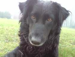 Cooki, chien Retriever de la Nouvelle-Écosse