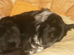 Cooki, chien Border Collie