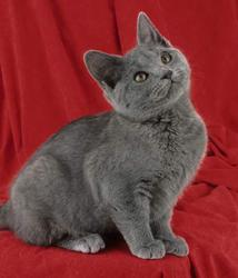 Cooki, chat Chartreux