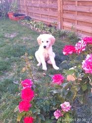 Cooki, chien Golden Retriever