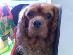 Cooki, chien Cavalier King Charles Spaniel