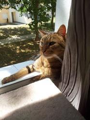Cooki, chat Européen