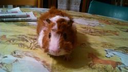 Cooki, rongeur Cochon d'Inde