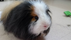 Cookie Est Mort, rongeur Cochon d'Inde