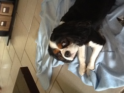Cookie , chien Cavalier King Charles Spaniel