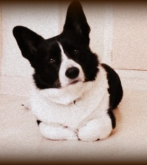 Cookie, chien Welsh Corgi
