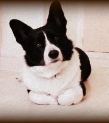 Cookie, chien Welsh Corgi
