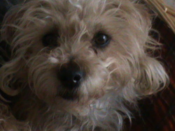 Cookie, chien Yorkshire Terrier