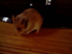Cookie Au Paradis, rongeur Hamster