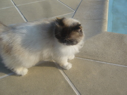 Cookie, chat Persan