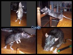 Cookie, rongeur Rat