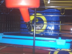 Cookie , rongeur Hamster