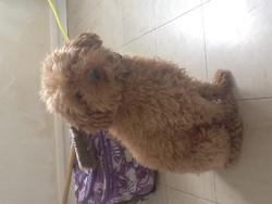Cookie, chien Caniche