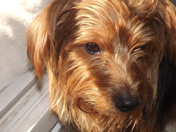 Cookie, chien Yorkshire Terrier