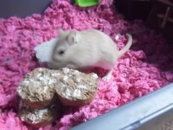 Cookie, rongeur Gerbille