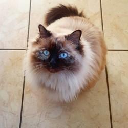 Praliné, chat Européen