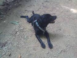 Cookie, chien Border Collie