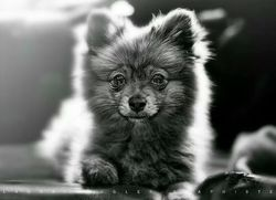 Cookie, chien Spitz allemand