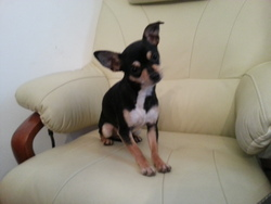 Cookie, chien Chihuahua