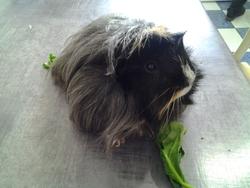 Cookie, rongeur Cochon d'Inde