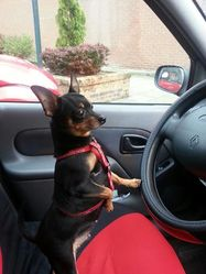 Cookie, chien Pinscher