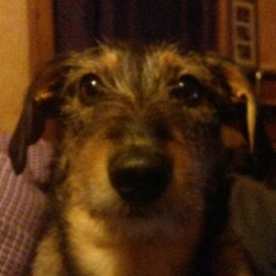 Cookie, chien Teckel