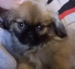 Cookie, chien Épagneul tibétain