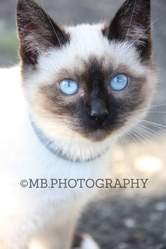 Cookie, chat Birman