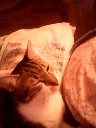 Cookie, chat Européen